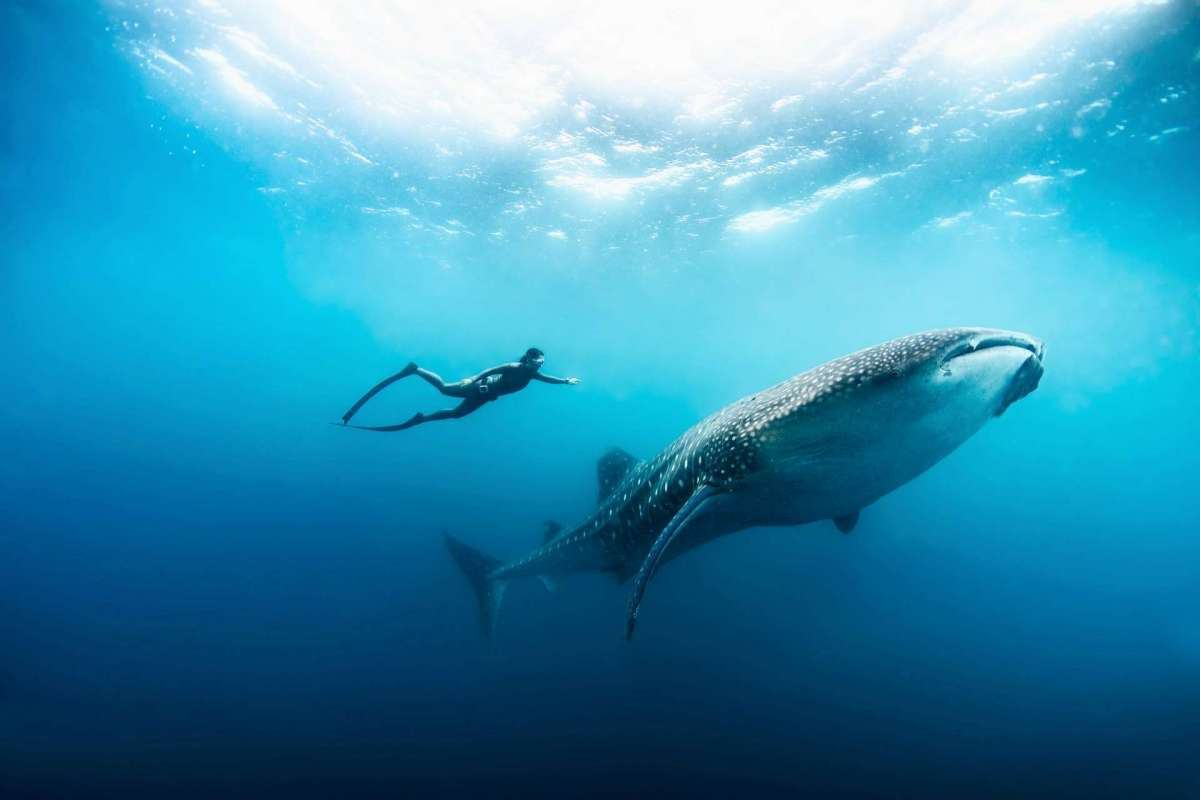 A hotel guest of Soneva Fushi during a free diving session in the sea besides a whale